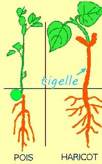 Définition } La germination de graines Germin10