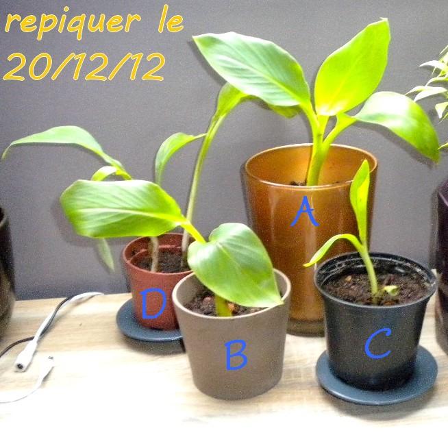 mon bananier  Rejet_11