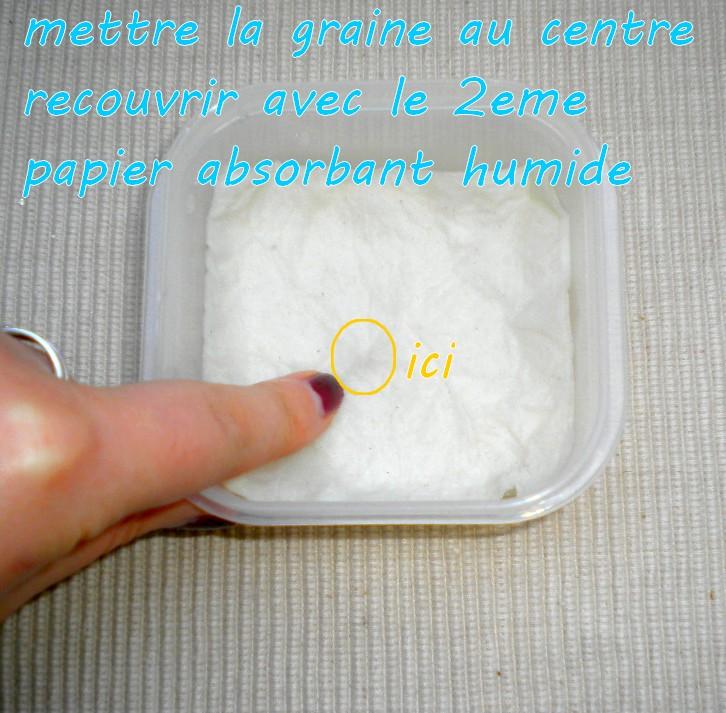 Technique } le semi dans du papier absorbant - coton  Sans_t13