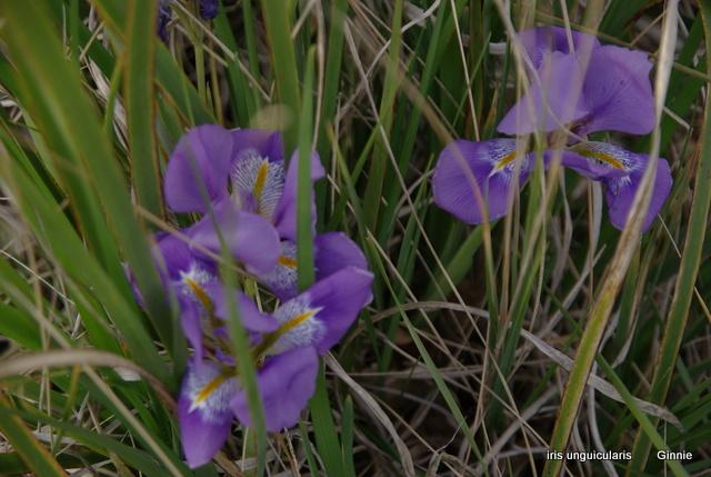 Plantation, culture et floraison des bulbes, des rhizomes, des griffes Imgp5611