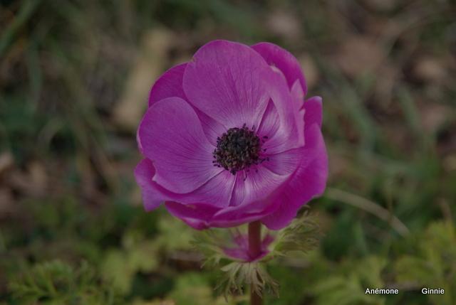 Plantation, culture et floraison des bulbes, des rhizomes, des griffes Imgp5613