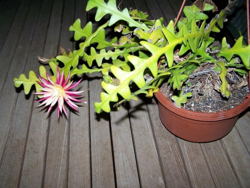 Cryptocereus anthonyanus , zig zag cactus 100_2711