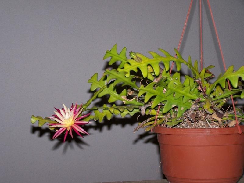 Cryptocereus anthonyanus , zig zag cactus 100_2713