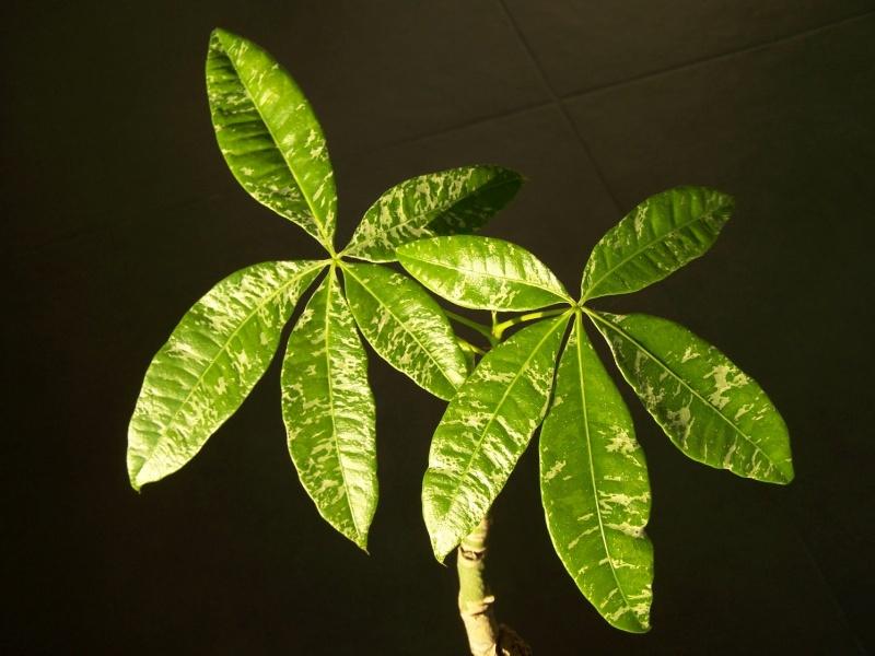 Pachira aquatica et ces cultivars panachés A_29310