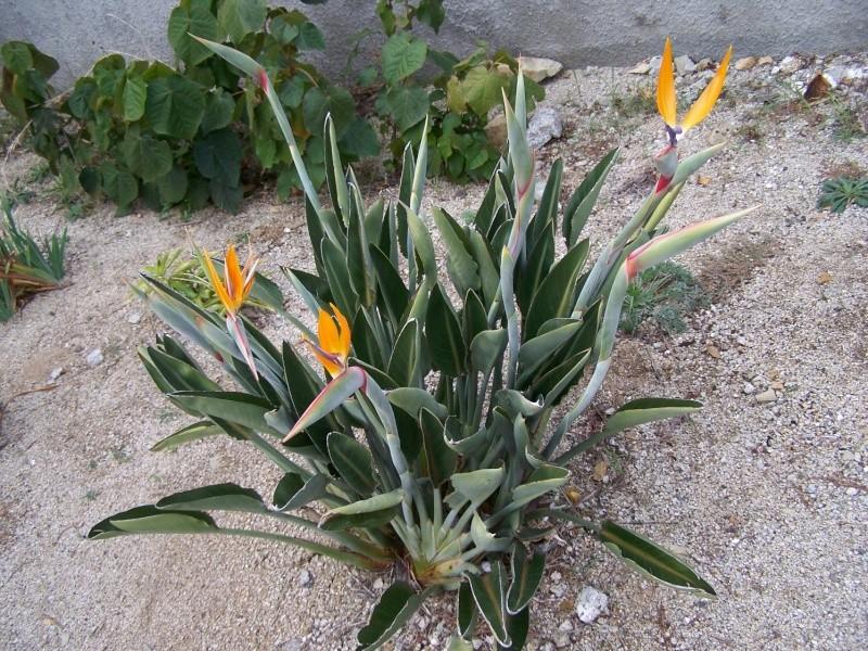 Strelitzia reginae, floraison A_29810
