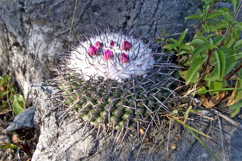 Mammillaria orcuttii 2012-010