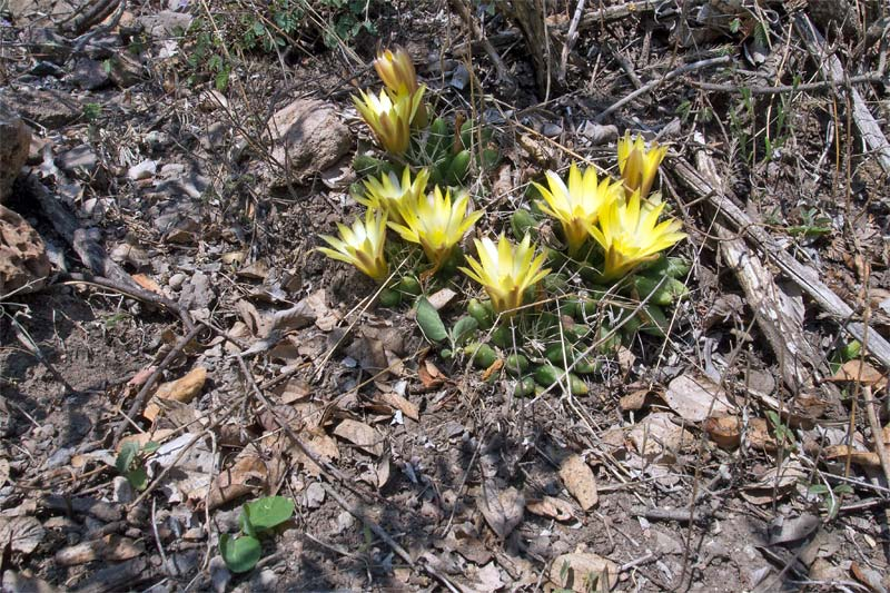 Mammillaria uberiformis Mammil10