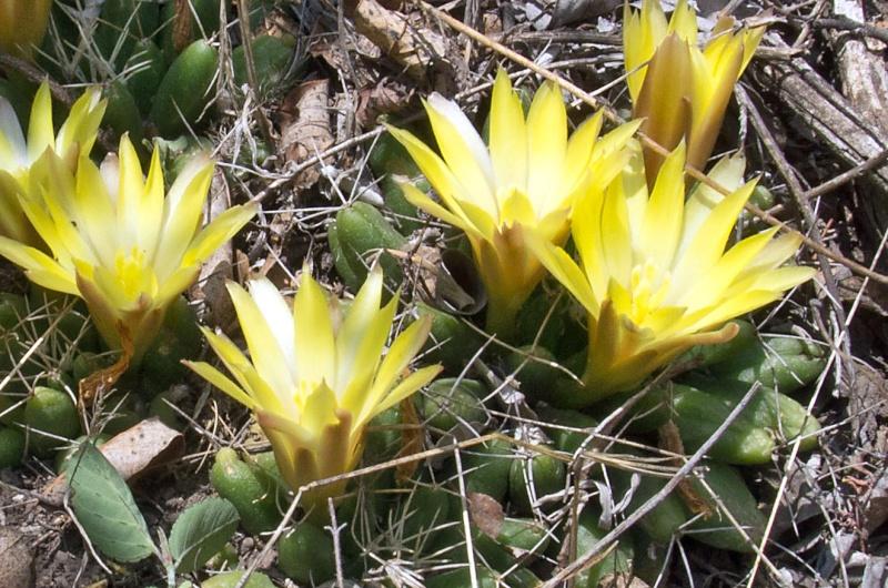 Mammillaria uberiformis Mammil11
