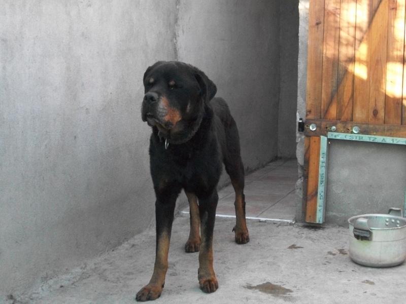 Rico (rottweiller) Pepita55