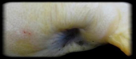 Reconnaitre la femelle du mâle Carpe-11