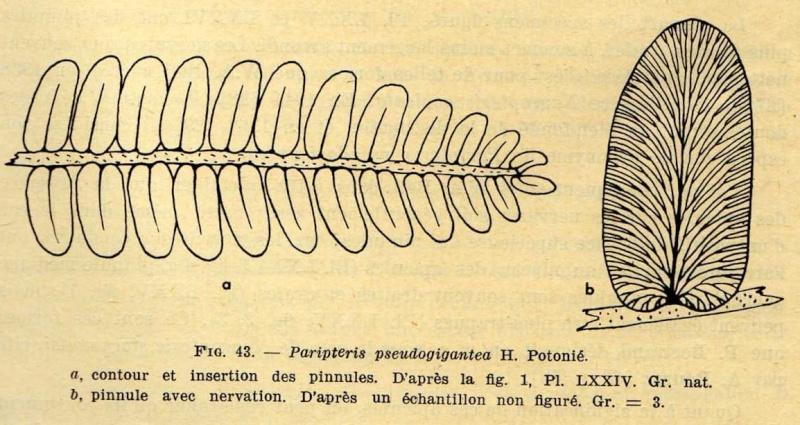 Paripteris Gothan ,1941.  Img25610