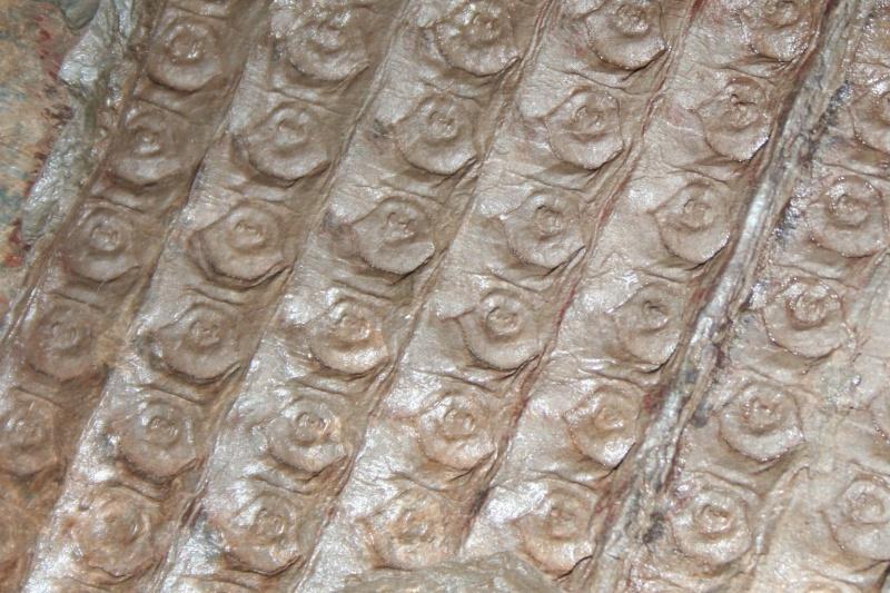 Sigillaria et zone d'insertion des sigillariostrobus Img_0815