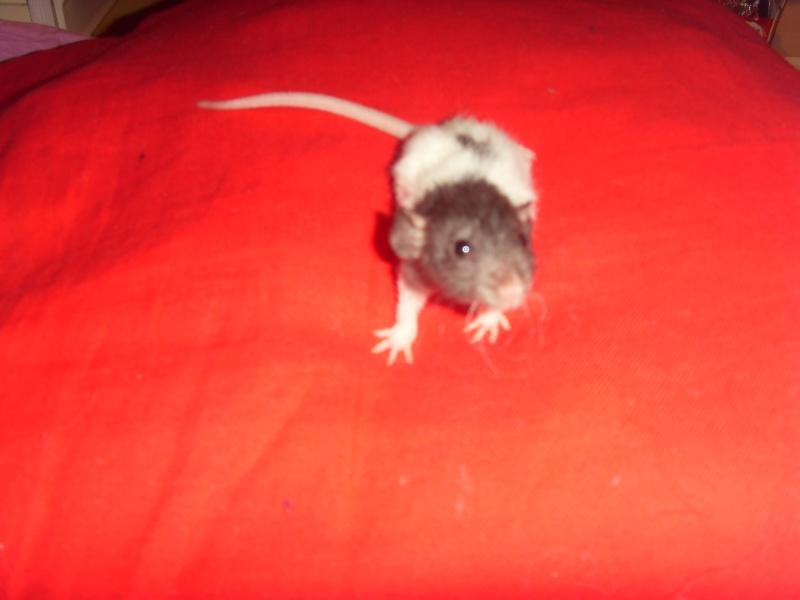 Portée de Prunelle, 11 ratons dumbo rex (21 + covoit) URGENT - Page 4 Cendri11