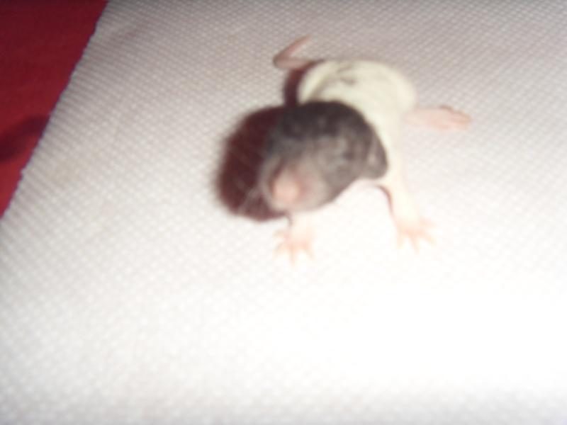Portée de Prunelle, 11 ratons dumbo rex (21 + covoit) URGENT - Page 2 Jack10
