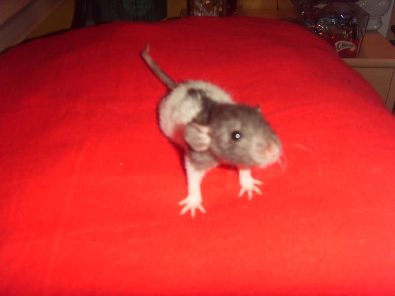 Portée de Prunelle, 11 ratons dumbo rex (21 + covoit) URGENT - Page 4 Mushu_10