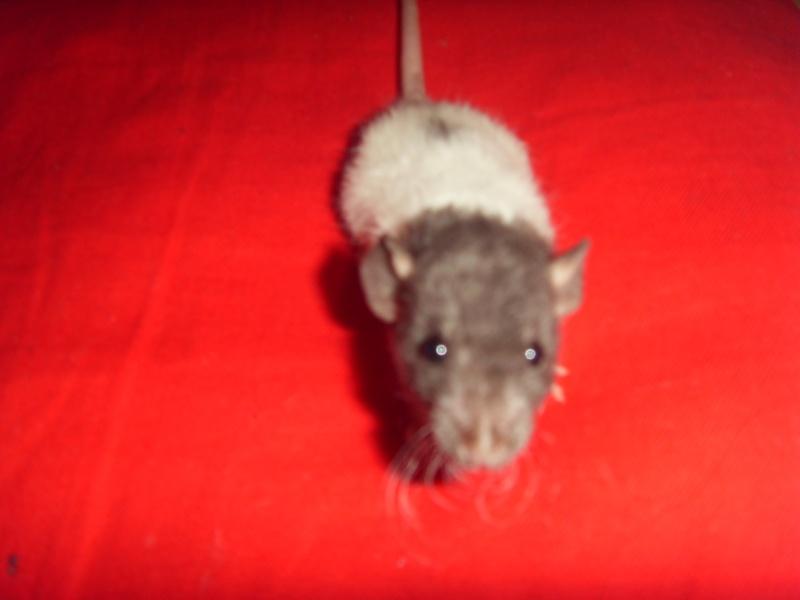 Portée de Prunelle, 11 ratons dumbo rex (21 + covoit) URGENT - Page 4 Pan_210