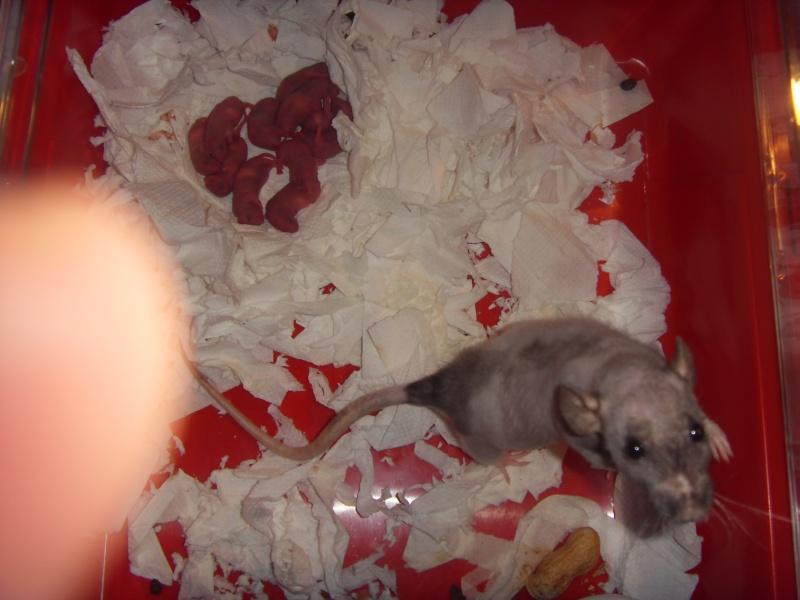 Portée de Prunelle, 11 ratons dumbo rex (21 + covoit) URGENT Sdc11413