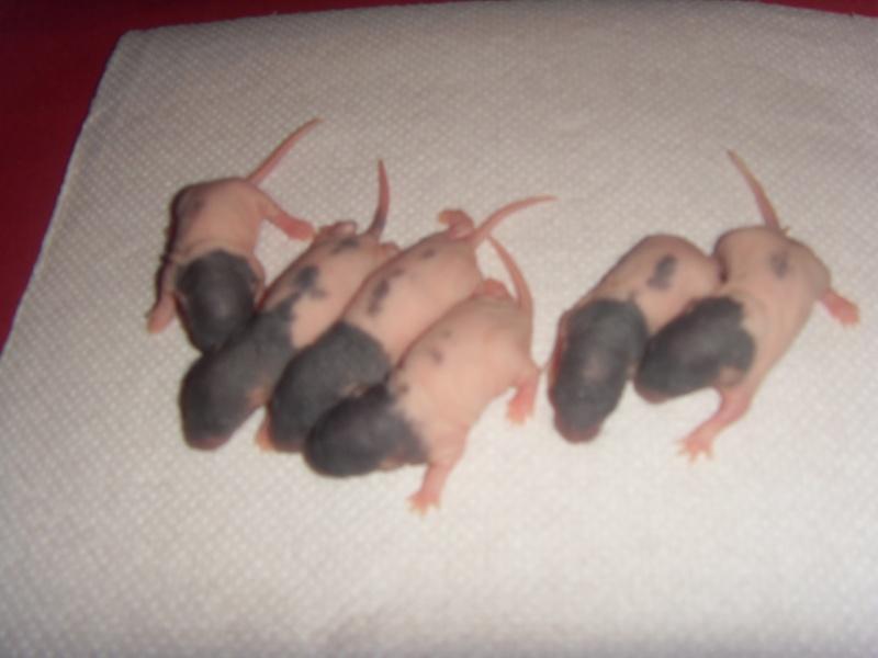 Portée de Prunelle, 11 ratons dumbo rex (21 + covoit) URGENT - Page 2 Sdc11514
