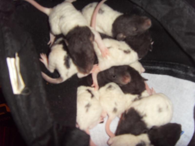 Portée de Prunelle, 11 ratons dumbo rex (21 + covoit) URGENT - Page 3 Sdc11712