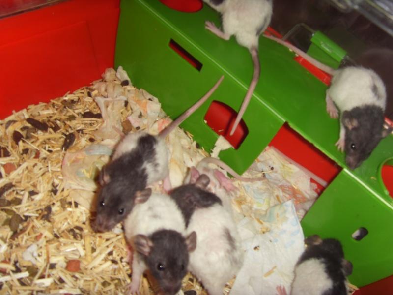 Portée de Prunelle, 11 ratons dumbo rex (21 + covoit) URGENT - Page 4 Sdc11810