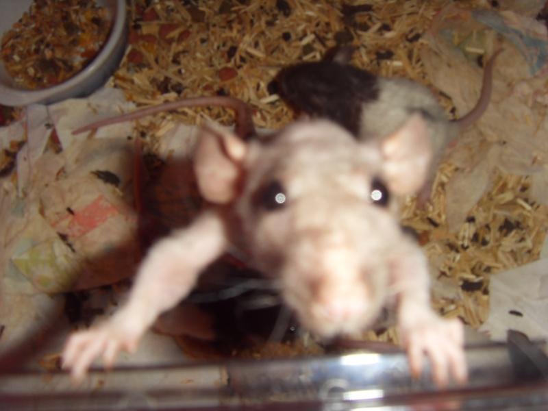 Portée de Prunelle, 11 ratons dumbo rex (21 + covoit) URGENT - Page 4 Sdc11811