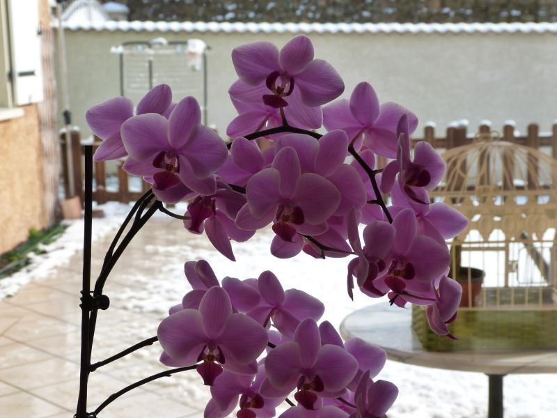 orchidée devant la neige ! 2013_019
