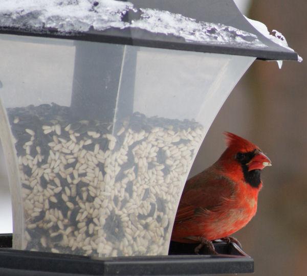 Le cardinal Cid_eb10