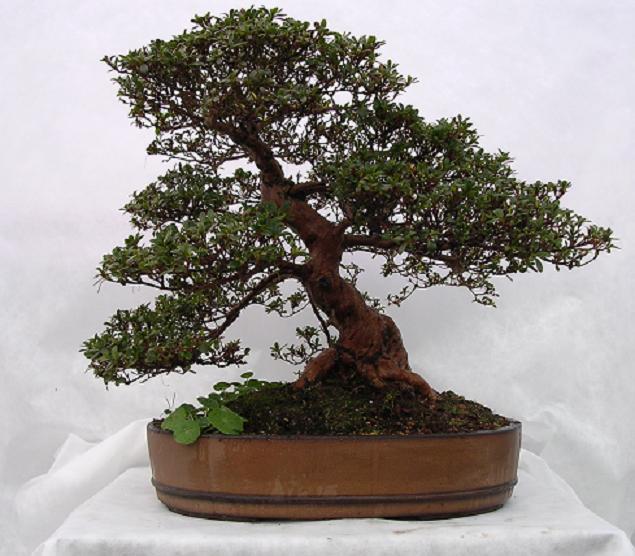 Jersey Bonsai Society Azalea10