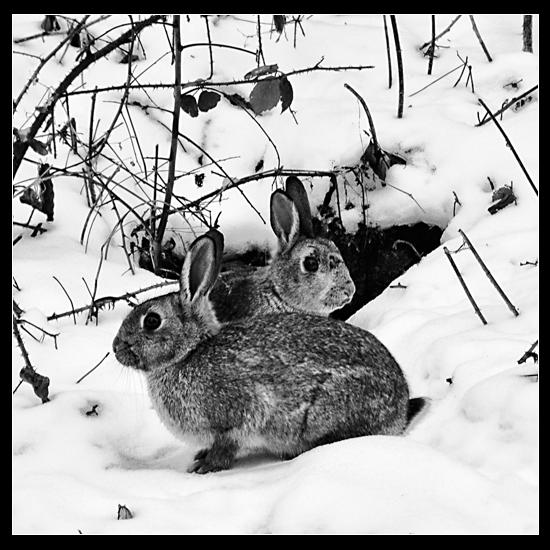 Mon beau lapin roi des forêts… Lapins10