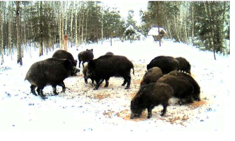 Boars cam, winter 2012 - 2013 - Page 5 Kaklus11