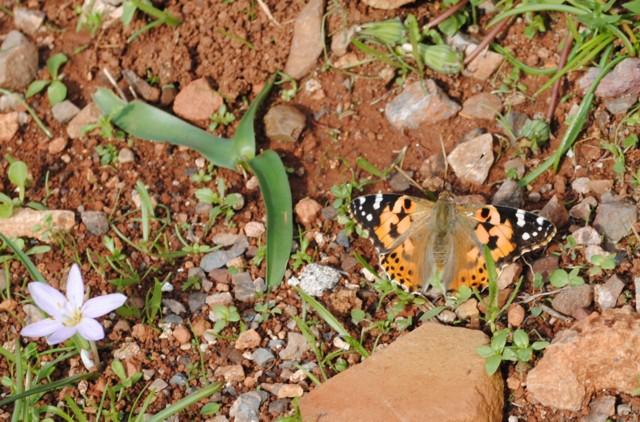 Πεταλούδες Dsc_0410