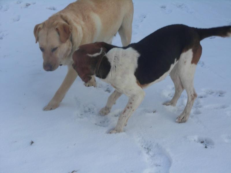 BOB, beagle mâle, 3 ans (85) Boby210
