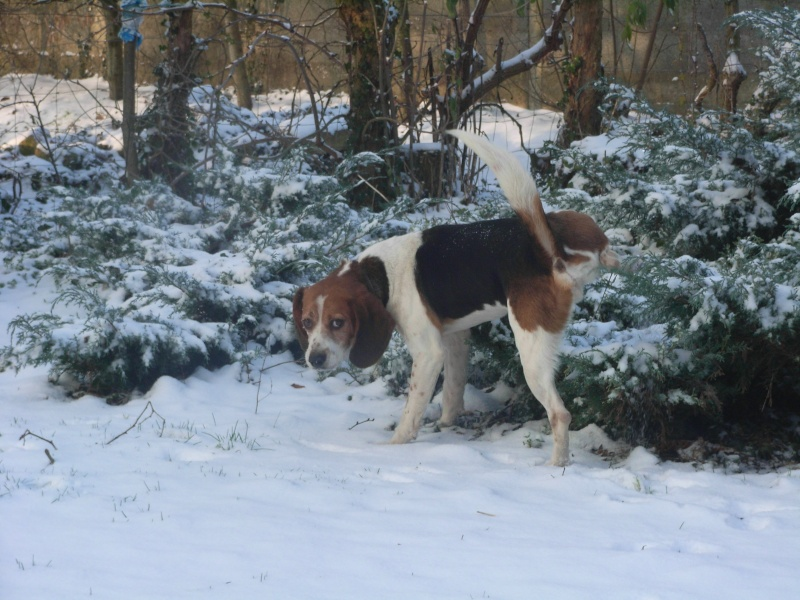BOB, beagle mâle, 3 ans (85) Boby310