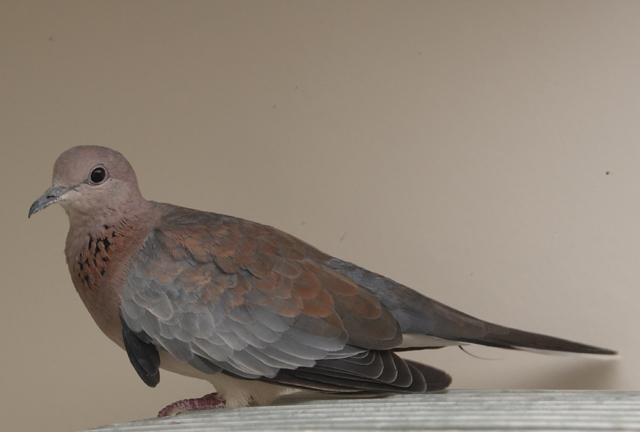 Senegal doves (PMV Paramixo Virus discussion) - Page 2 Senega10