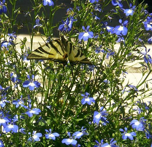 Papillon Papi_210