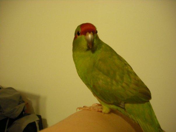 Mue et plumage Cocott11