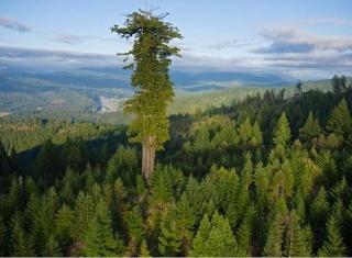 أطول شجرة في العالم  Talles10