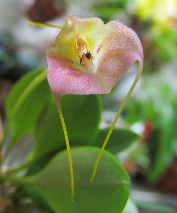 Masdevallia persicina 117fle10