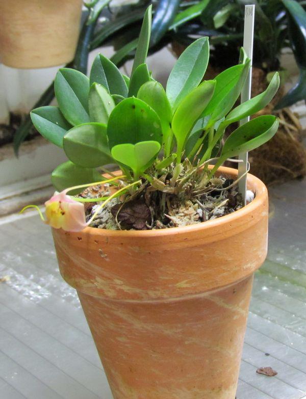 Masdevallia persicina 117pla10