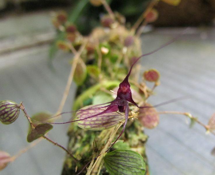 Trichosalpinx chamaelepanthes 131fle10