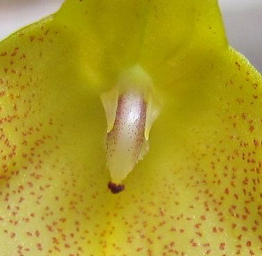Masdevallia citrinella 6feuil10
