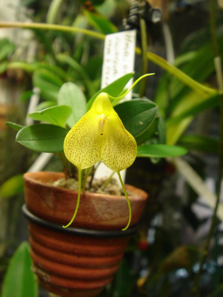 Masdevallia citrinella 6fleur10