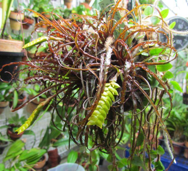 Racinaea crispa nouvelle photos Img_1135