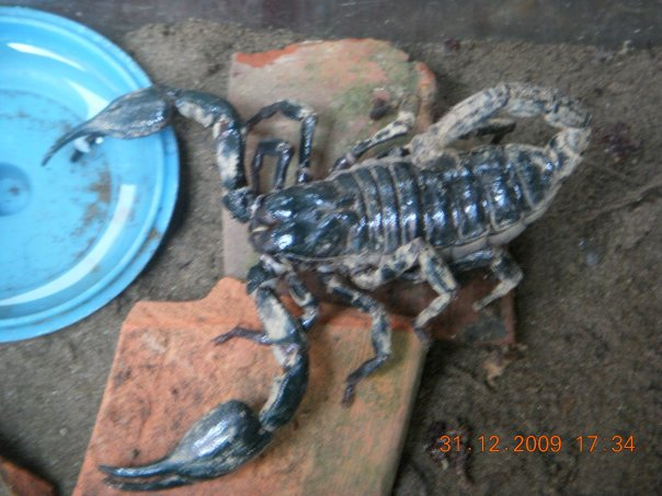 help me identify my first ever scorp pls.. Scorp310
