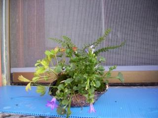 Le mie composizioni di shitakusa e Kusamono 100_0519