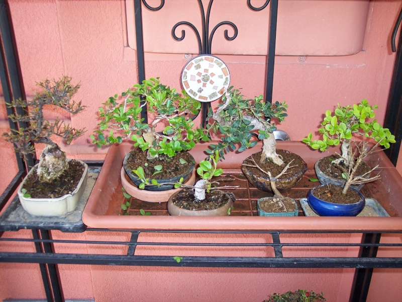 Dove coltiviamo i nostri bonsai Balcon12