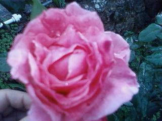 roses de janvier..................... Rose_d11