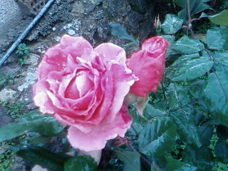 roses de janvier..................... Rose_d13