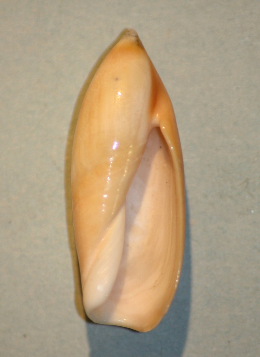 Ancilla ampla - (Gmelin, 1791) 1-anci11