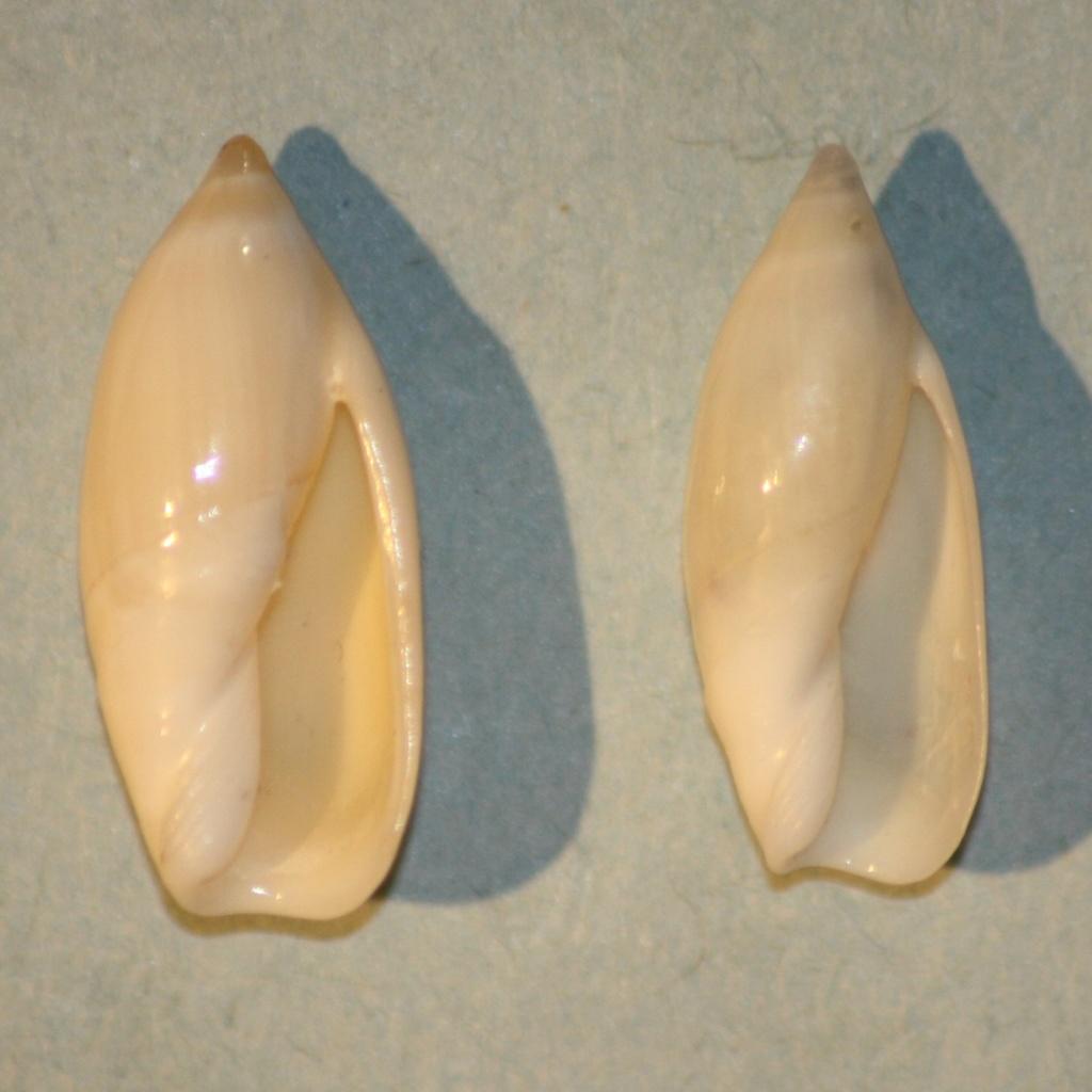 Ancilla cylindrica (Sowerby,1859) 1-anci12